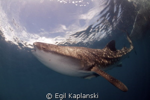 Whale shark at Cendrawasih Bay, West Papua. by Egil Kaplanski 